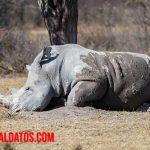 Tipos de rinocerontes existentes en la actualidad y sus características
