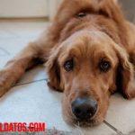 Como saber si un perro tiene fiebre o temperatura alta: conoce los síntomas