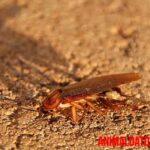 Las cucarachas como se reproducen en el hogar y como evitarlas