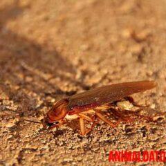 cucarachas como se reproducen