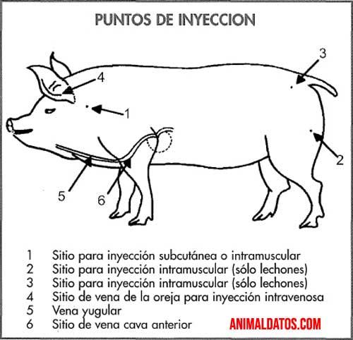 diagrama-inyeccion-cerdo