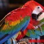 Guacamayo escarlata: características, habitat, alimentación y otros datos
