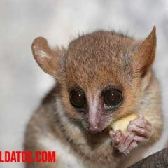 microcebus o lémur ratón gris
