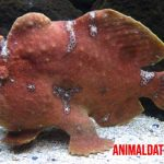 Todo sobre el pez sapo peludo o Antennariidae