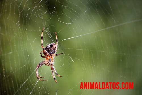 porque las arañas hacen telarañas