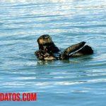 Nutrias de mar: alimentación, hábitat, características físicas y curiosidades