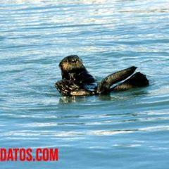 que comen las nutrias de mar