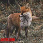 ¿El zorro que come? Su alimentación y costumbres de cacería