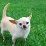 ¿Por qué convulsionan los perros chihuahua?