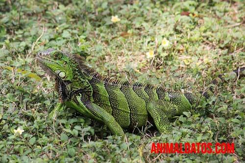 alimentacion de la iguana