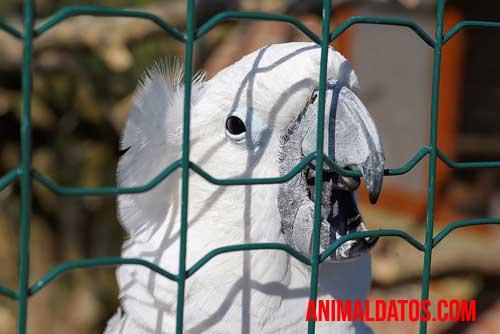 cacatua blanca