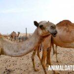 Como se defienden los camellos de las condiciones extremas del desierto