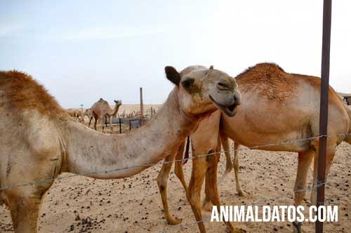 como se defienden los camellos