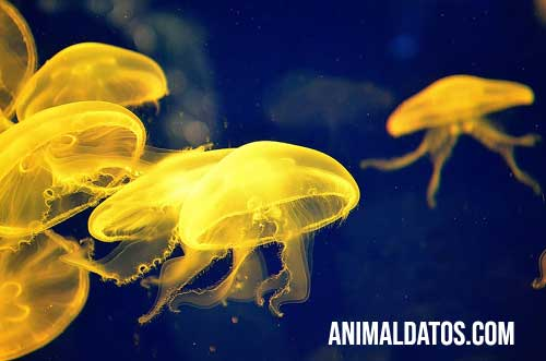 medusa arcoiris