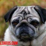 5 razas de perros con la cara arrugada que te encantarán