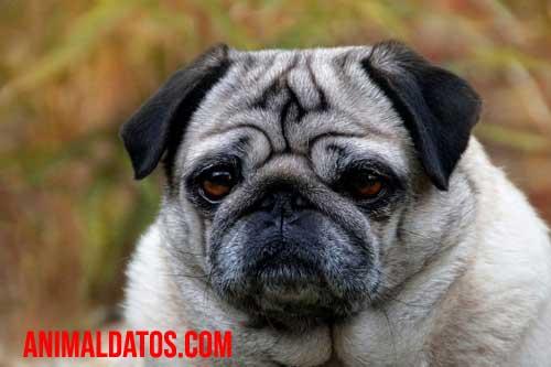 perros con la cara arrugada