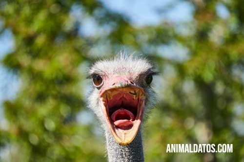 porque las avestruces esconden la cabeza en la tierra