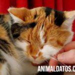 Porque los gatos ronronean cuando los acaricias