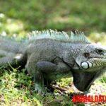 Que comen las iguanas en cautiverio, verdes, negras, bebés y otras variedades