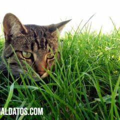 hierba para gatos
