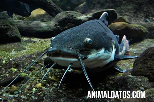 peces sin escamas