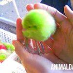 ¿Por qué los pollitos de colores mueren rápido? ¿Cuánto viven en promedio?