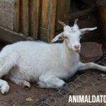 Porque las cabras cuando se asustan se paralizan