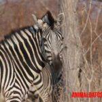 Razones de porque las cebras tienen rayas negras y blancas