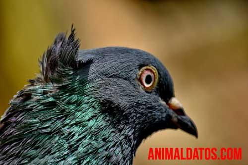 porque las palomas mueven la cabeza cuando caminan
