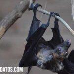 Porque los murciélagos duermen de cabeza y colgados de sus patas