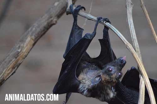 porque los murciélagos duermen de cabeza