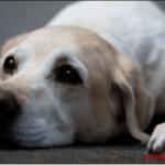 Causas de vómito en perros y que hacer al respeto