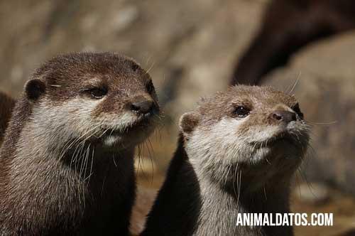 animales monogamos