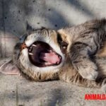 Gingivitis en gatos: Causas, síntomas, prevención y tratamiento
