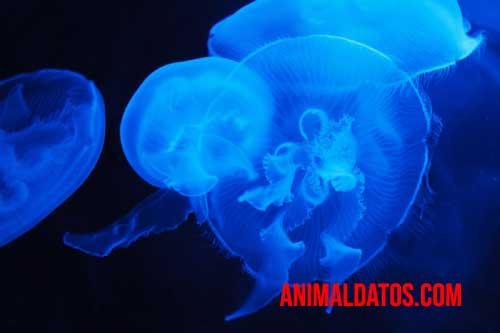 medudsa azul