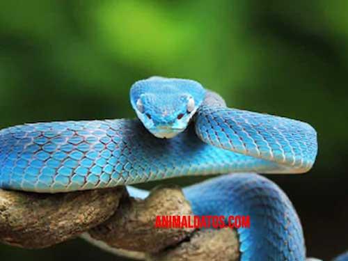 serpiente-azul