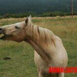 Que es la tiña en caballos y cual es su tratamiento