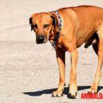 Que es la ataxia en perros: síntomas y tratamiento