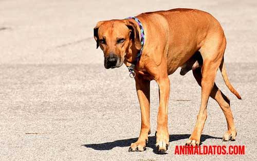ataxia en perros