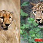 ¿Cuál es la diferencia entre leopardo y guepardo?