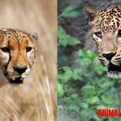 diferencia entre leopardo y guepardo