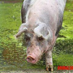 es verdad que los cerdos no pueden mirar al cielo
