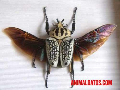 escarabajo goliat