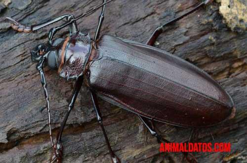 escarabajo titán
