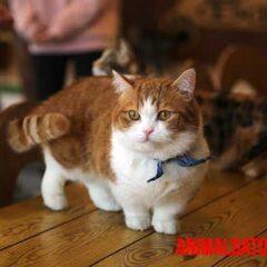 gatos enanos