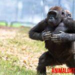 Conoce porque los gorilas se golpean el pecho, ¿es para intimidar?