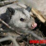 ¡Las zarigüeyas no son malas! Razones para querer y proteger estos animales