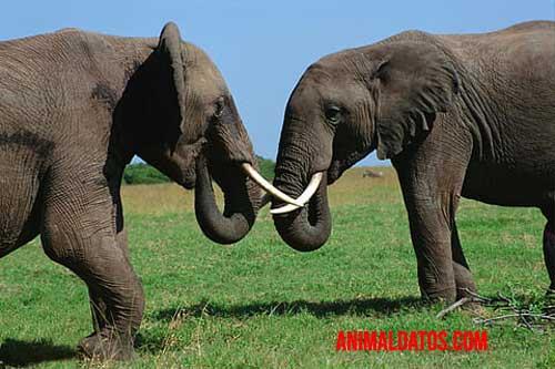 elefante de la selva