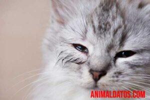 gato ojos llorosos