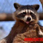 Tener un mapache de mascota, ¿es posible? Riesgos, cuidados y consejos